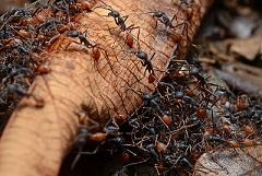 ant army